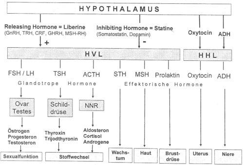 Hormonsystem - Schöpferkraft